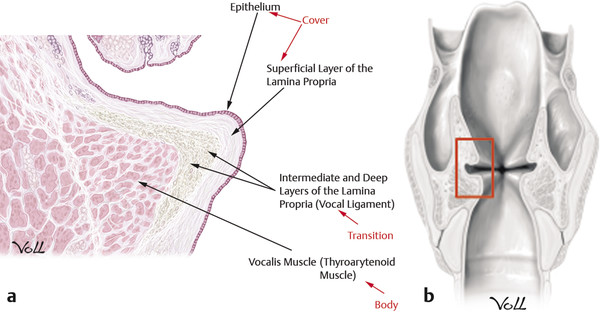 Vocal fold histologic section showing structural layers.