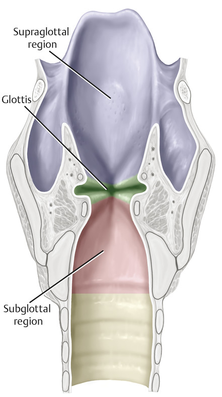 Sagittal view of larynx showing location of subglottal pressure forces that act on the vocal fold tissue.