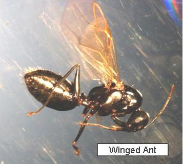 Carpenter Ants Winged Alates