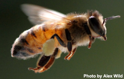 Traveling Bees Have More Stress and Shorter Lives