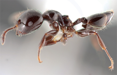 A New Species of Ant Found in Cambodia