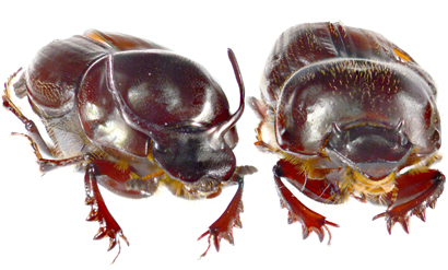 By Recycling Leftover Genes, Beetles Make New Horns and Eyes