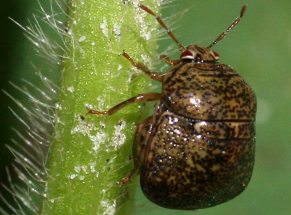 Soybean's Wild Relatives May Provide Clues for Managing Kudzu Bugs