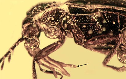 New Fossil Evidence Shows Beetles Pollinated Orchids Millions of Years Ago