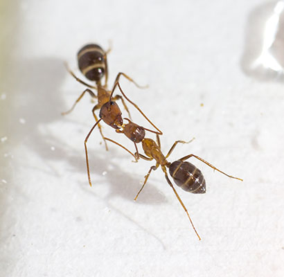 Kiss and Tell: How Ants Communicate Mouth-to-Mouth