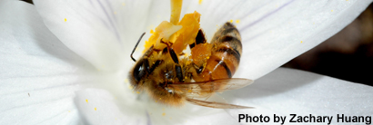 Single Gene Determines Worker Bees' Ability to Carry Pollen