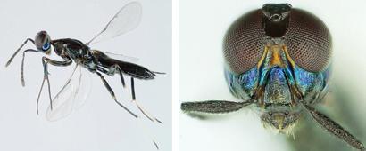 Callimomoides monochaphagae male