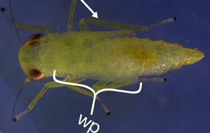 Late-instar potato leafhopper with wing pads and specialized legs used for jumping.
