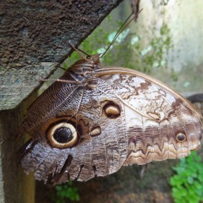 An owl butterfly. What beautiful eyespots!