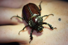 A large scarab beetle.