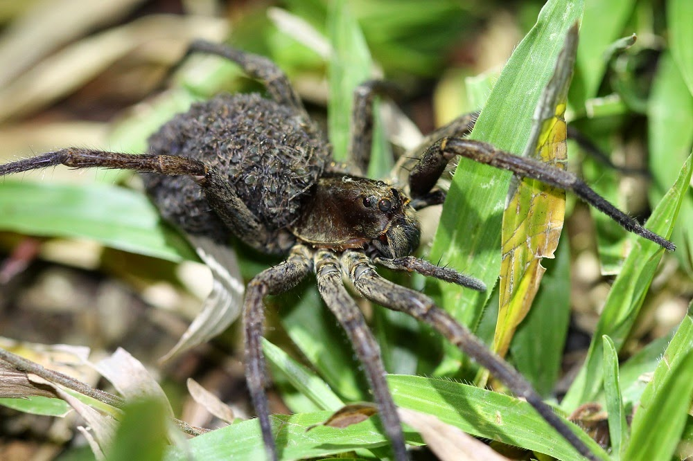 A female wolf spider carrying her young on her abdomen.