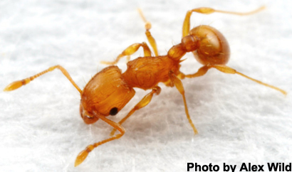 Little Fire Ants Causing Big Problems On Guam