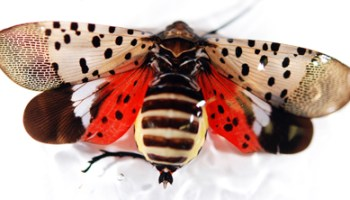 Spotted Lanternfly: States Urge Citizens to Report Sightings