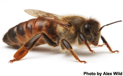 queen bee microbiomes are not like those of worker bees