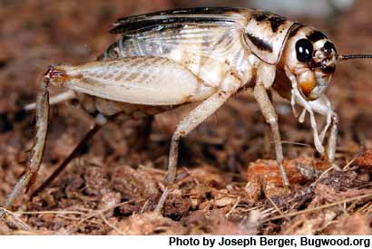 Crickets Are Not a Free Lunch, Protein Conversion Rates May