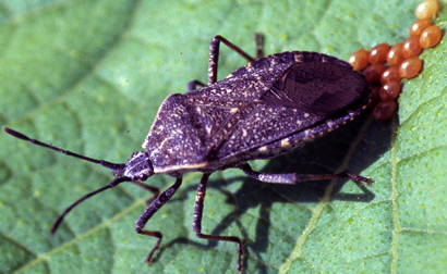 squash bugs still making growers crazy after all these years