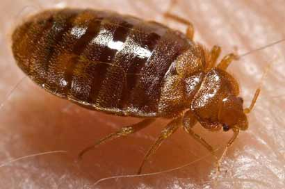 bed-bug-cdc