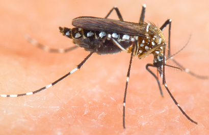 The Aedes aegypti mosquito is the primary carrier of the Zika virus. A new federal report offers new directions for research and development of mosquito-control efforts.