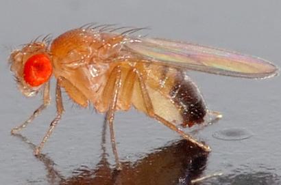 Two Artificial Sweeteners Kill Fruit Flies