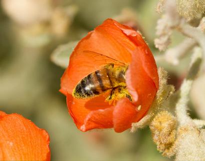 Bee covered in pollen in flower