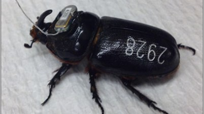 tagged coconut rhinoceros beetle
