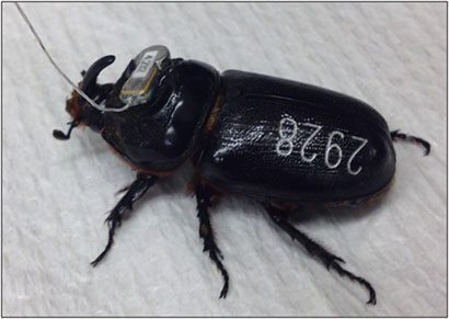 tagged coconut rhinoceros beetle