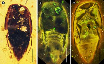 Mesosymbion compactus