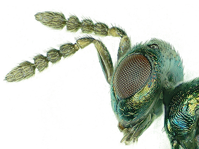 Baryscapus dioryctriae is a new species of wasp that parasitizes two moths of the genus Dioryctria, a pest of pine trees in China. (Photo credit: Li-Wen Song, et al)