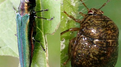 invasive species - emerald ash borer and kudzu bug