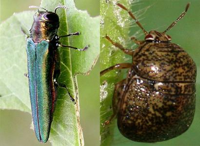 invasive species - emerald ash borer and kudzu bug