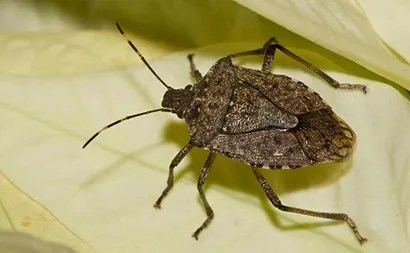 brown marmorated stink bug, an invasive pest