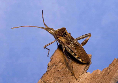 A Chance Encounter: The Case of a Western Conifer-Seed Bug