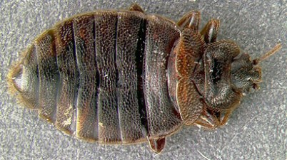 bed bug dorsal view