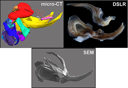 Functions of Grasshopper Genitalia Revealed, in 3D, Via Correlative ...