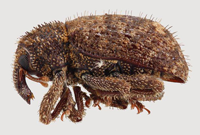 west indian sweetpotato weevil