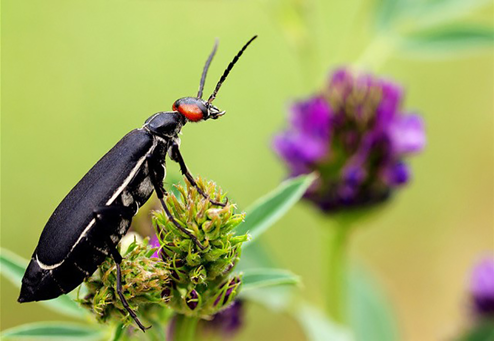 What Puts the Blister Into Blister Beetles?