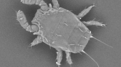 Luciaphorus perniciosus mite