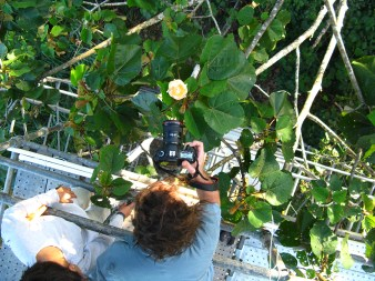 photographing bees in the Panama rain forest canopy