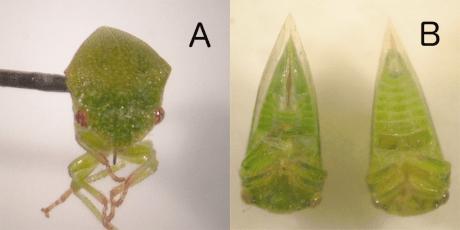 threecornered alfalfa hopper frontal ventral views
