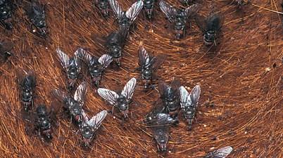horn flies