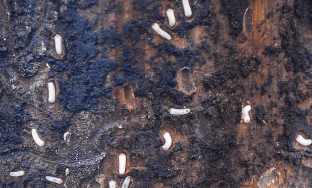 sweetgum inscriber larvae