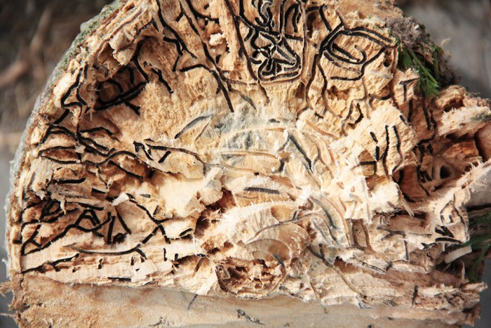 box elder galleries by polyphagous shot hole borer