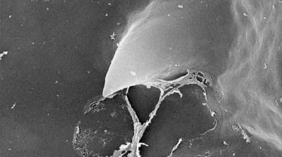 bee larva hatching spine close-up