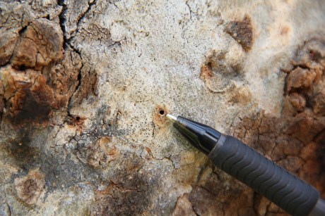 sycamore gallery hole by polyphagous shot hole borer