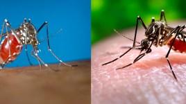 Aedes aegypti or Aedes albopictus?
