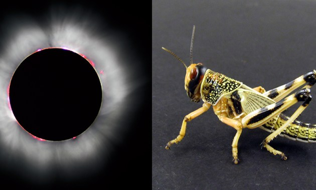eclipse and locust