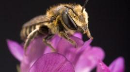 Megachile rotundata