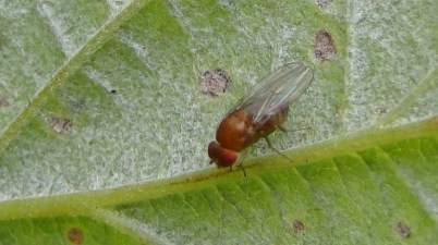 spotted-wing drosophila on leaf