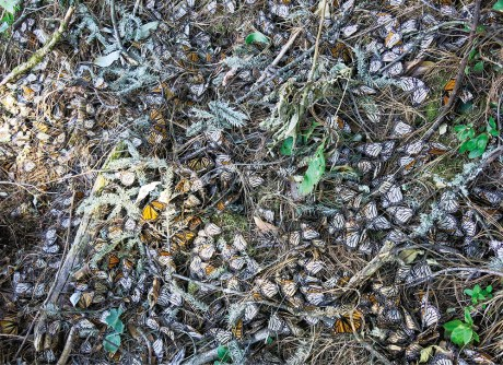Monarch butterflies killed in winter storm