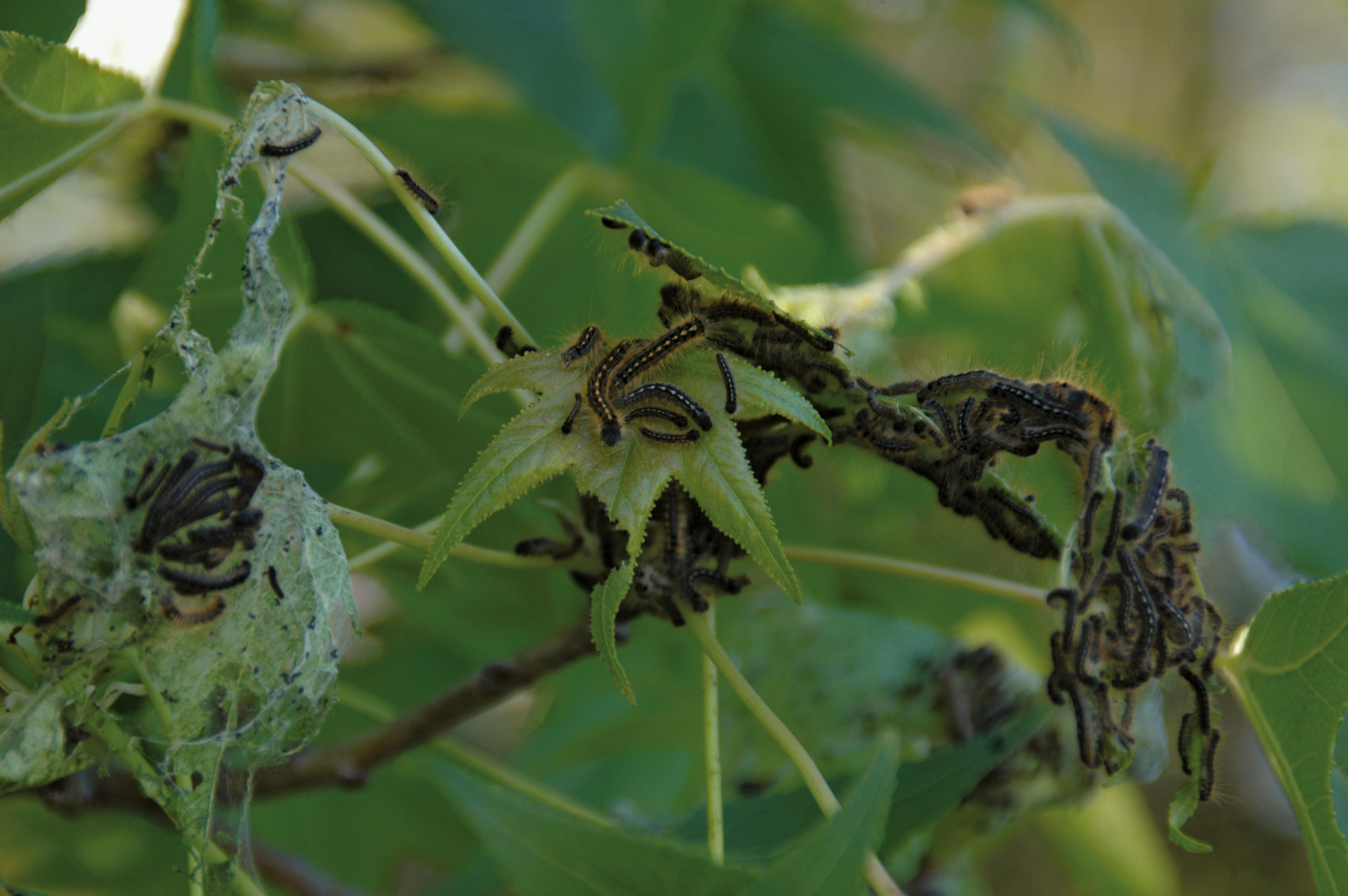 forest tent caterpillars on foliage & New Guide Offers Insights on How to Manage the Forest Tent Caterpillar